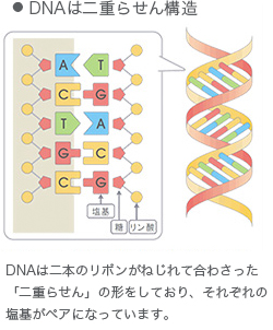 DNAは二重らせん構造